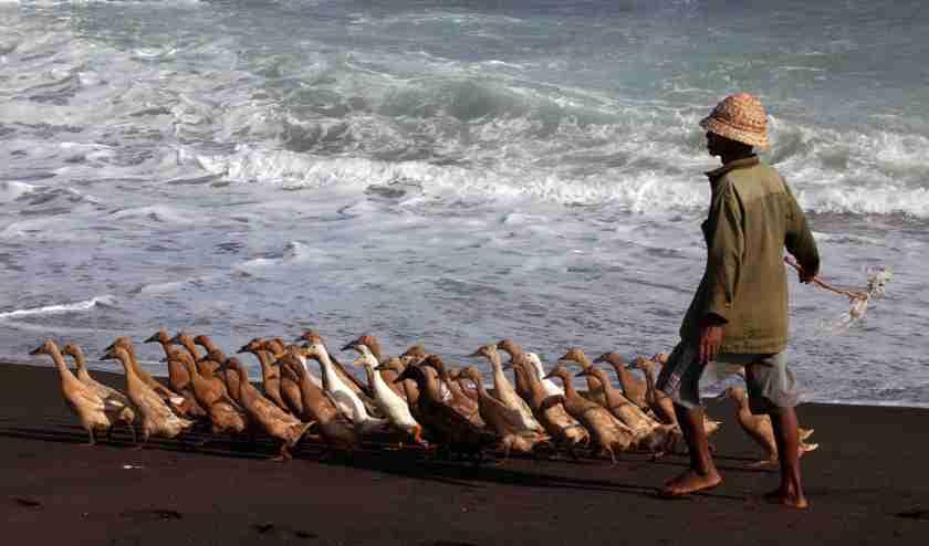 Bali Duck herder Keramas